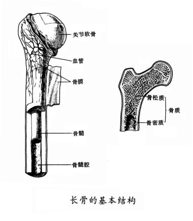 长骨的基本结构